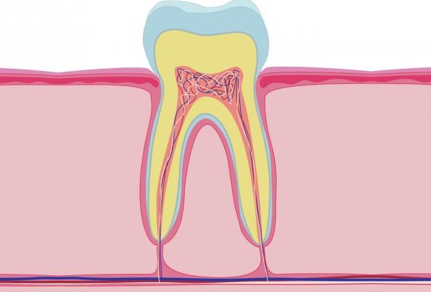 объясняем строение зуба
