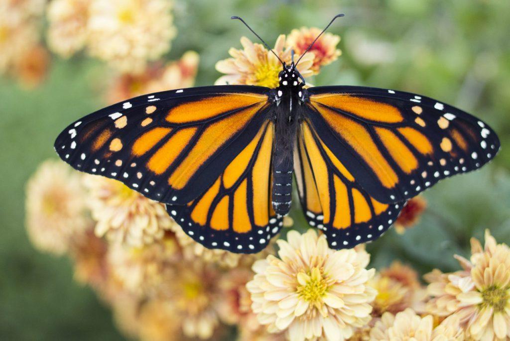 Монтессори дома: карточки по теме «Бабочки»