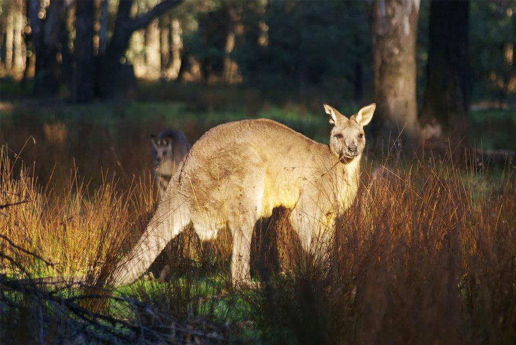Скачайте географические карточки для детей «Животные Австралии»