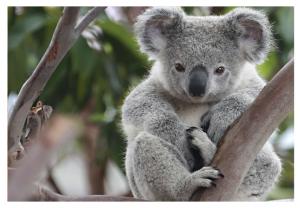 коала карточка